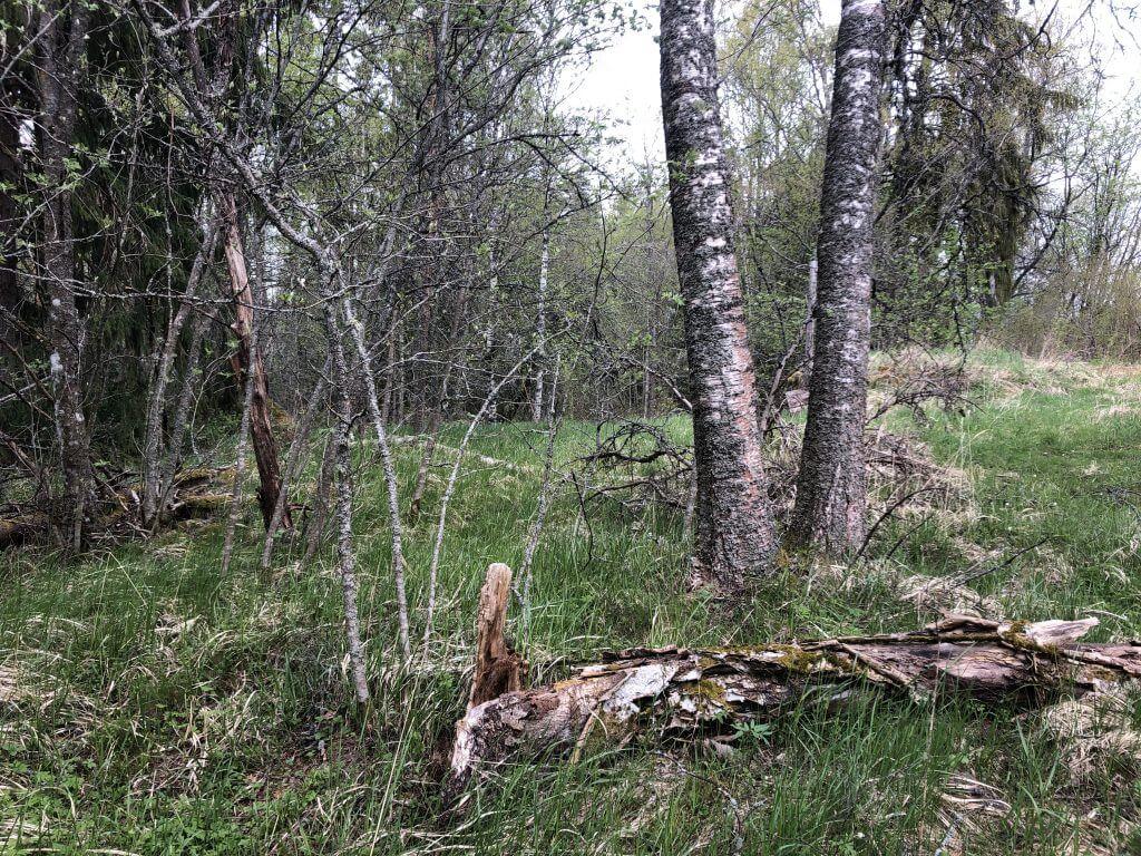 Vanhoja puita Otajärven luontotuvalla
