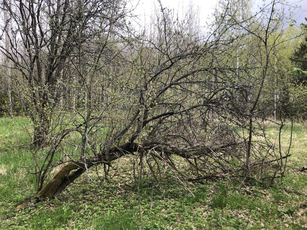 Puu kumollaan Otajärven luontotuvalla Tynnyrimiehen vaimon blogi
