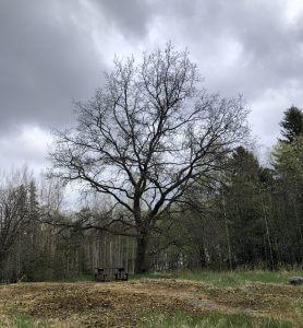 Mahtava tammi Otajärven luontotuvalla
